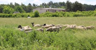 У Михайлівці три місяці працює ферма овець