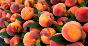 Житель села Колодеже на Горохівщині заробляє на персиках