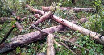 Незаконно зрізані дерева. Порушник сплатив штраф
