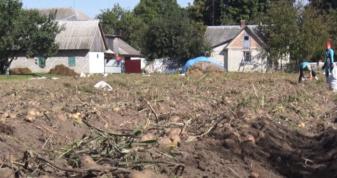 Як у Шацькій громаді копають картоплю