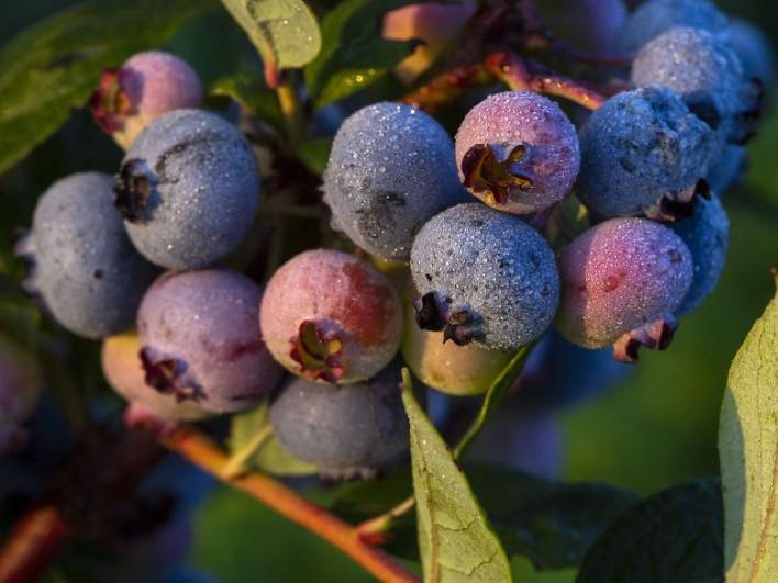 Як у Маневичах вирощують лохину в теплиці