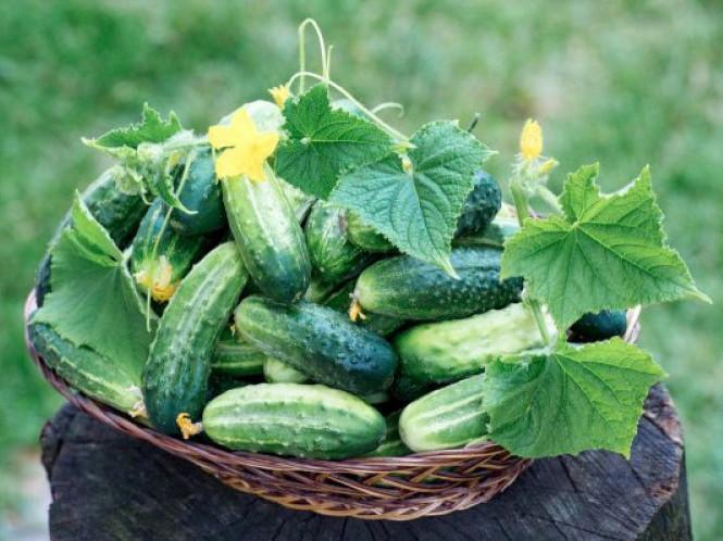 Маневичан вчили як вирощувати огірки у тепличних умовах та у відкритому ґрунті