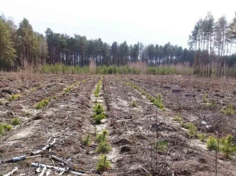 У Городоцькому лісництві розпочали роботи з лісовідновлення