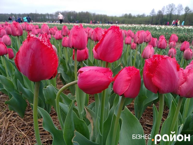 І дощ не налякав: на Волині стартував «тюльпановий фестиваль»