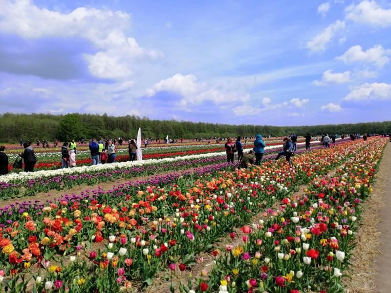 У «Волинській Голландії» впіймали сім'ю, яка зривала тюльпани / Фото ілюстративне