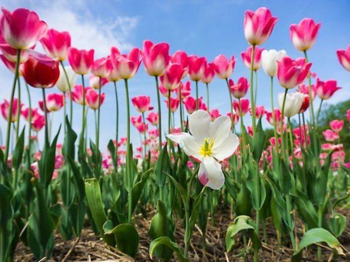 Після завершення «Волинської Голландії» почали зрізати тюльпани / Фото ілюстративне