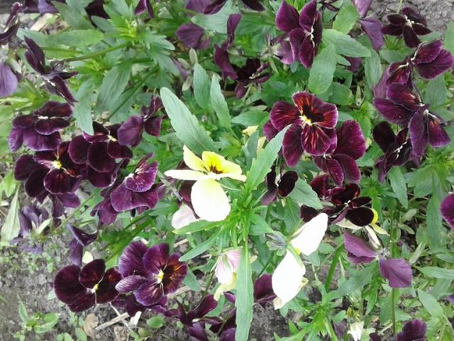 Квіти Світлани Шишко