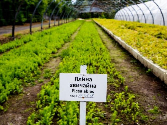 Саджанці вирощують у теплицях та на полі