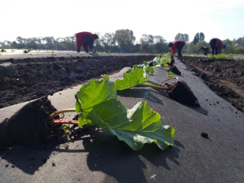 Гощанщина: аграрії висадили саджанці органічного ревеню