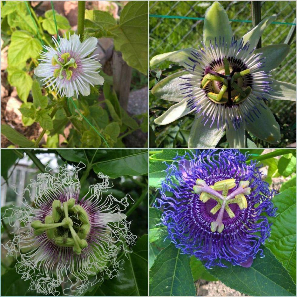 Квіти Пасифлори