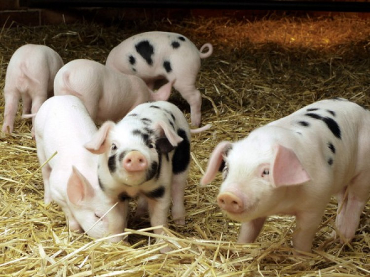 Назвали п`ятірку найпотужніших виробників свинини на Волині