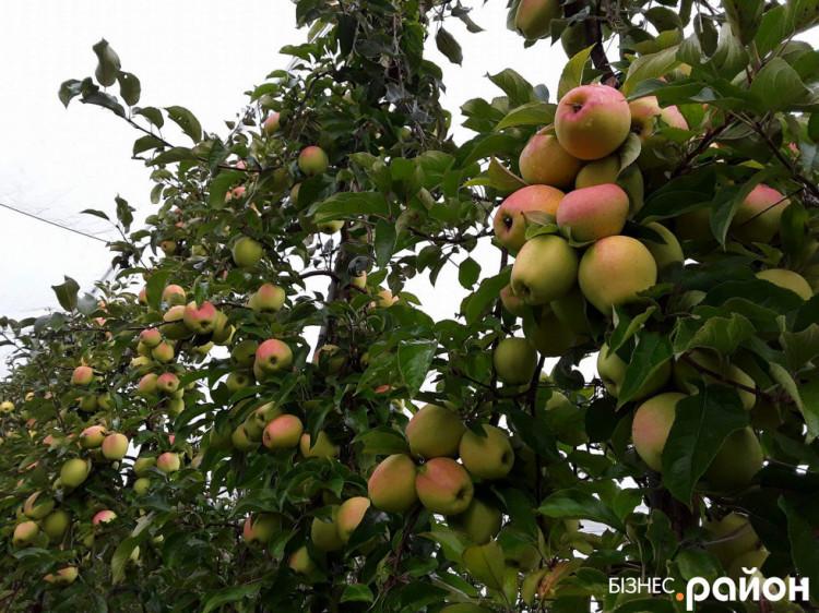 У сезоні 2018/19 років ціна яблук може впасти нижче 25 центів