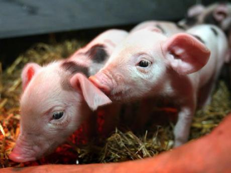 Фермерів проінформують, які нові вимоги чекають на свинарський бізнес