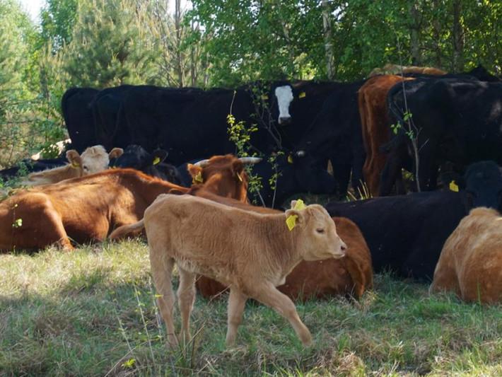Безприв'язний спосіб випасання худоби
