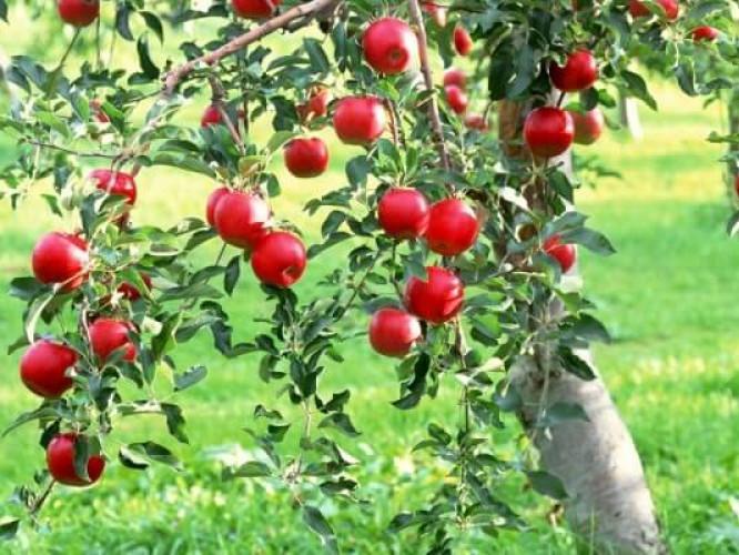 Українські вчені вивели нові сорти яблунь, стійких до хвороб