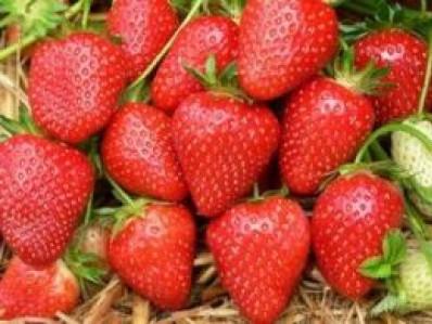 У Хорохорині 80% жителів живе з прибутків полуниці