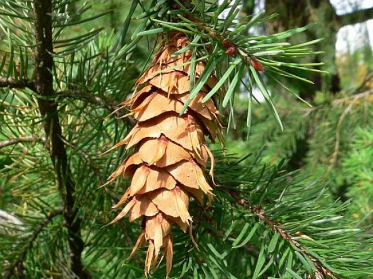 У Ківерцівському лісгоспі планують висадити екзотичні дерева