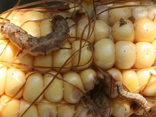 Стебловий кукурудзяний метелик може знищити урожай кукурудзи на Волині