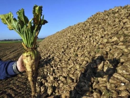 На Волині викопали першу тисячу гектарів цукрових буряків
