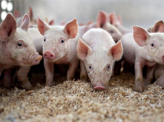 Волинську область відвідає місія ЄС, яка оцінить ситуацію з поширенням африканської чуми свиней