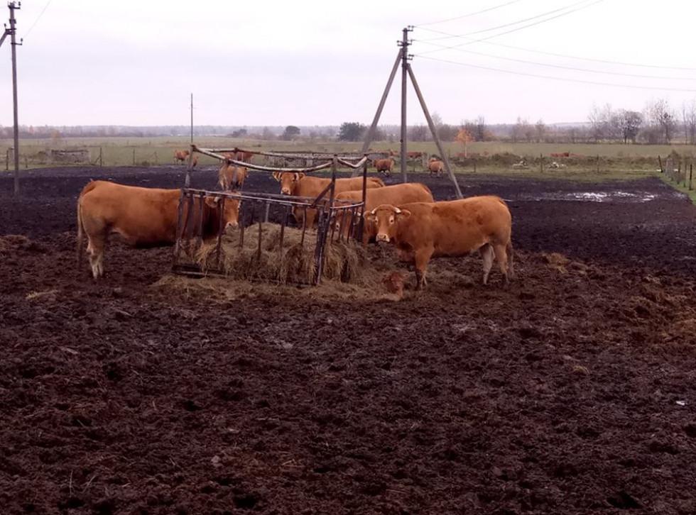 Велика рогата худоба аграрію