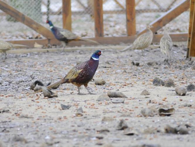 Звірівські лісівники активно збагачують місцеву фауну фазанами