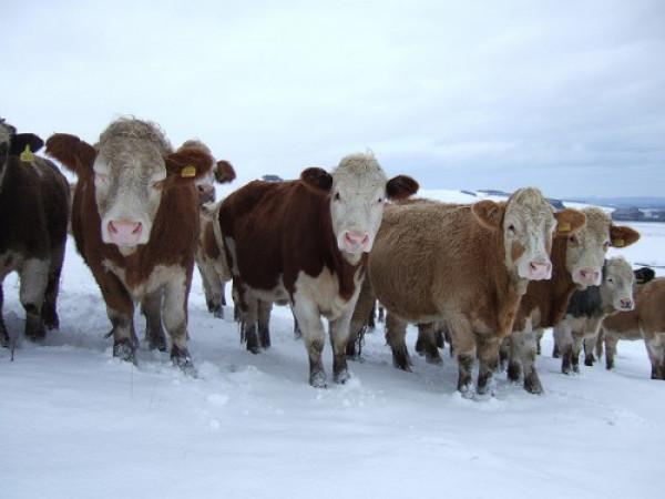 У селі поблизу Рожища селяни тримають по сім корів
