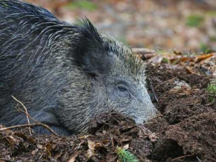 На Ківерцівщині знайшли тіло кабана, який заражений африканською чумою
