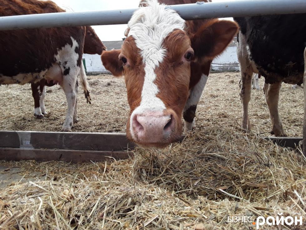Молоко у корови на язиці