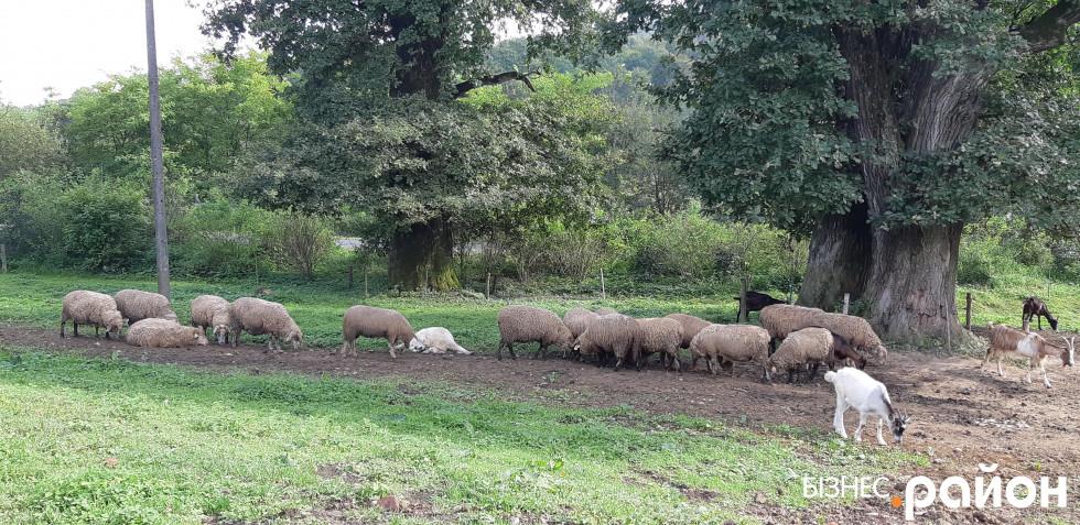 Овечки доять два місяці на рік, кози дають молоко довше. Їх доять вручну троє працівників. Для доїння корів використовують апарати