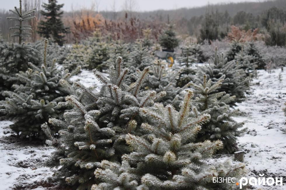 Плантація новорічних деревець