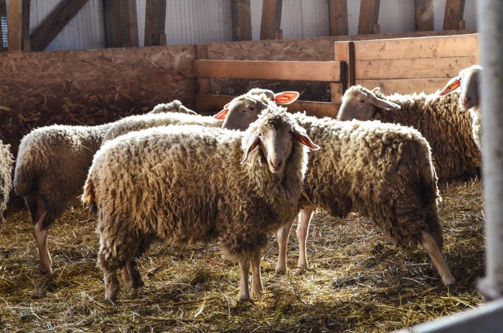 Вівці породи Мериноландшаф