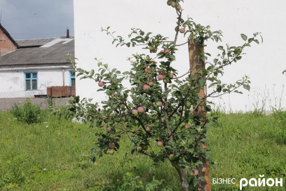 Яблука ростуть навіть на території заводу