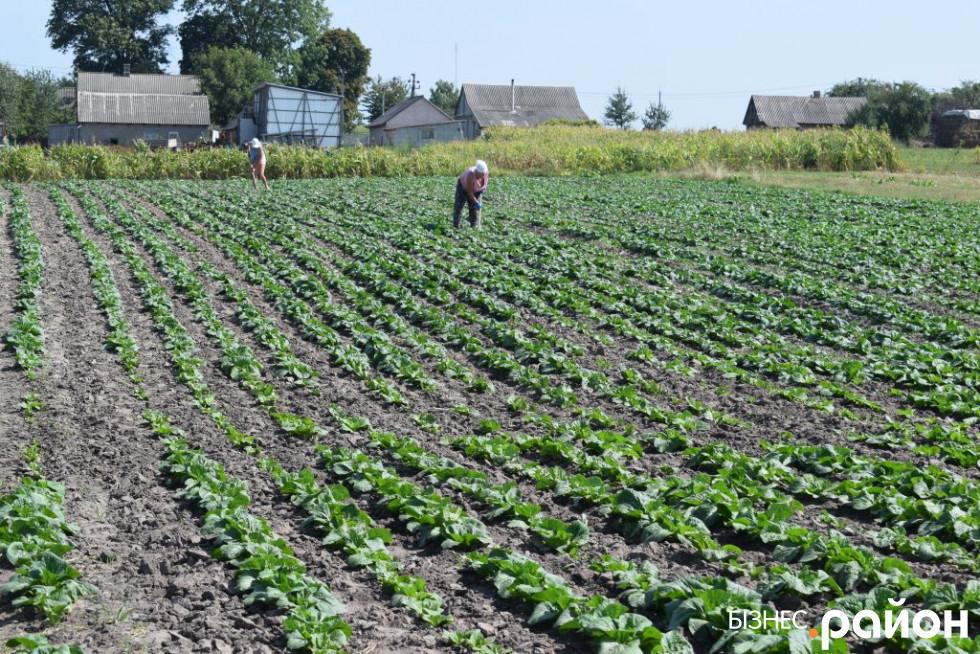 У серпні висаджують плантації пекінської капусти